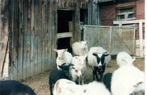 flock at barn 1