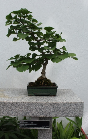 gingko bonsai