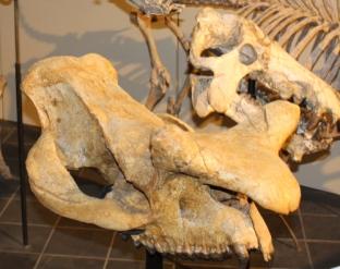 horned mammal skull